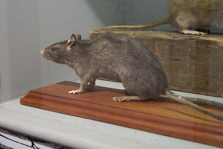 Black Rat Display